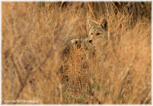 Coydog Nh: Coyote, Joshua Tree National Park, CA