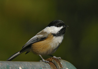 Black Capped Chickadee | by kevinbolton56