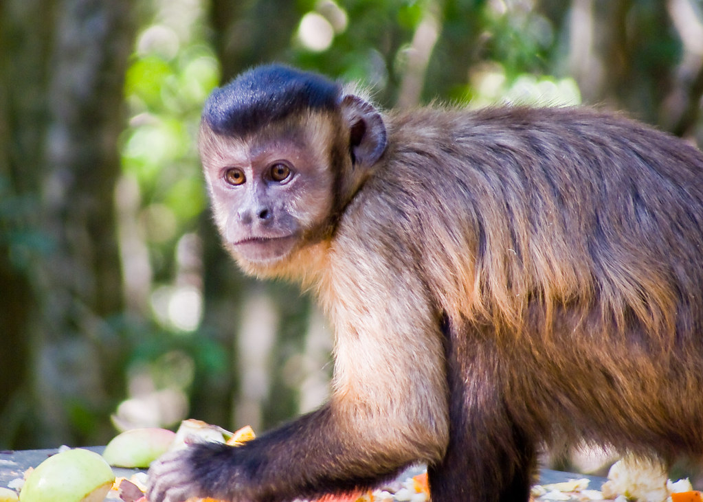 Capuchin Monkey | Capuchin Monkey roaming free in Monkey Lan