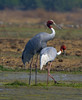 A Pair of Sarus Cranes in the Afternoon by aeschylus18917
