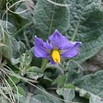 Solanum megistacrolobum Bitter (Wild Potato)
