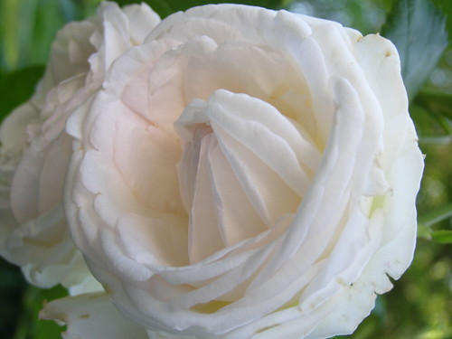 A White Rose | by M@rioM