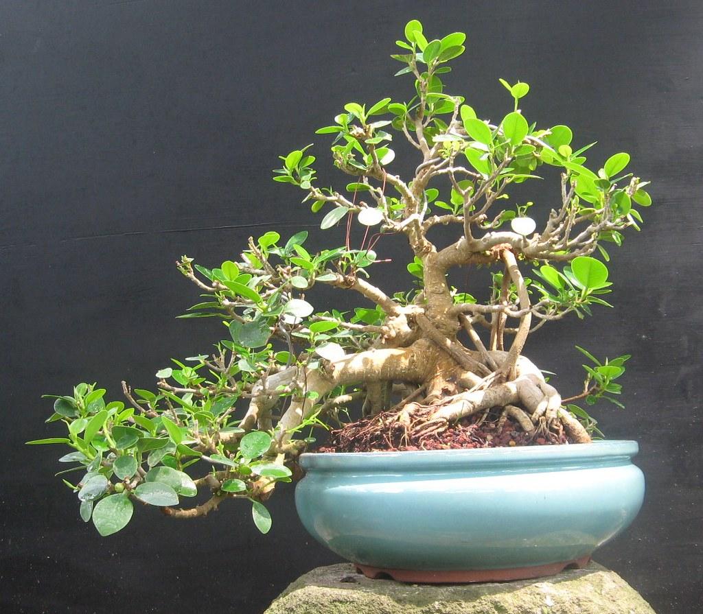 Green Island fig