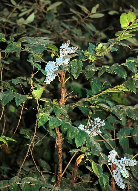 Berberis nervosa - Cascade Oregon Grape