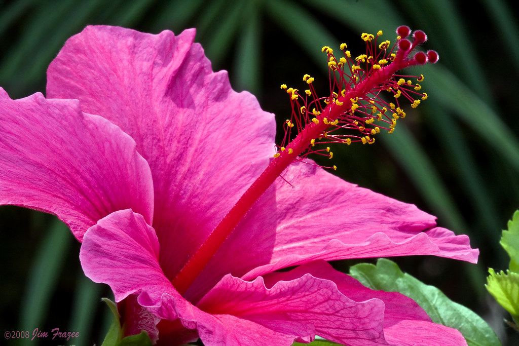 Hibiscus by Jim Frazee