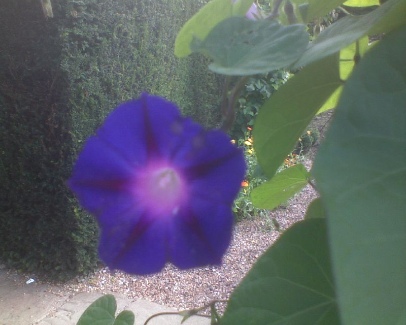Morning Glory - Star of Yelta Inside Ightham Mote: Open Heritage Day Sevenoaks Circular