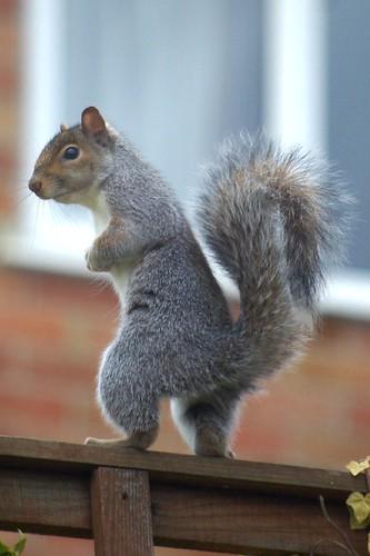 Grey Squirrel reacting to crows, 12 Nov 2008 | by Ian D Nolan