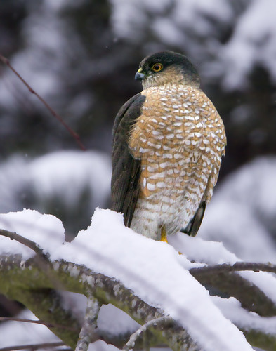 Scenes from a West Coast Snow Storm... :-( TROUBLE!  (Sharp-shinned Hawk)   by Rick Leche
