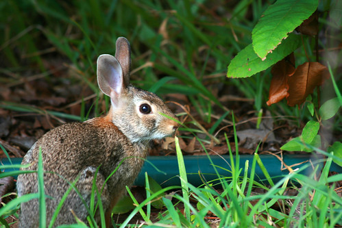 Rabbit   by CoolPersonRobert