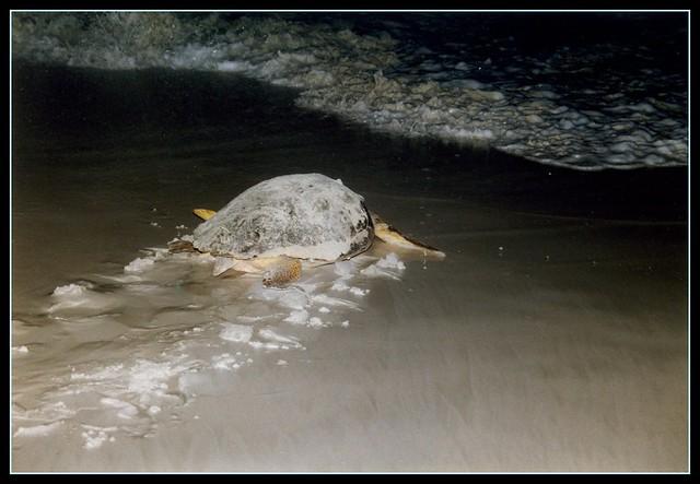 Tartaruga - Verso il Mare