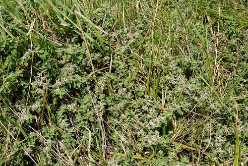 Galenia pubescens 081003-3732   by Tony Rodd