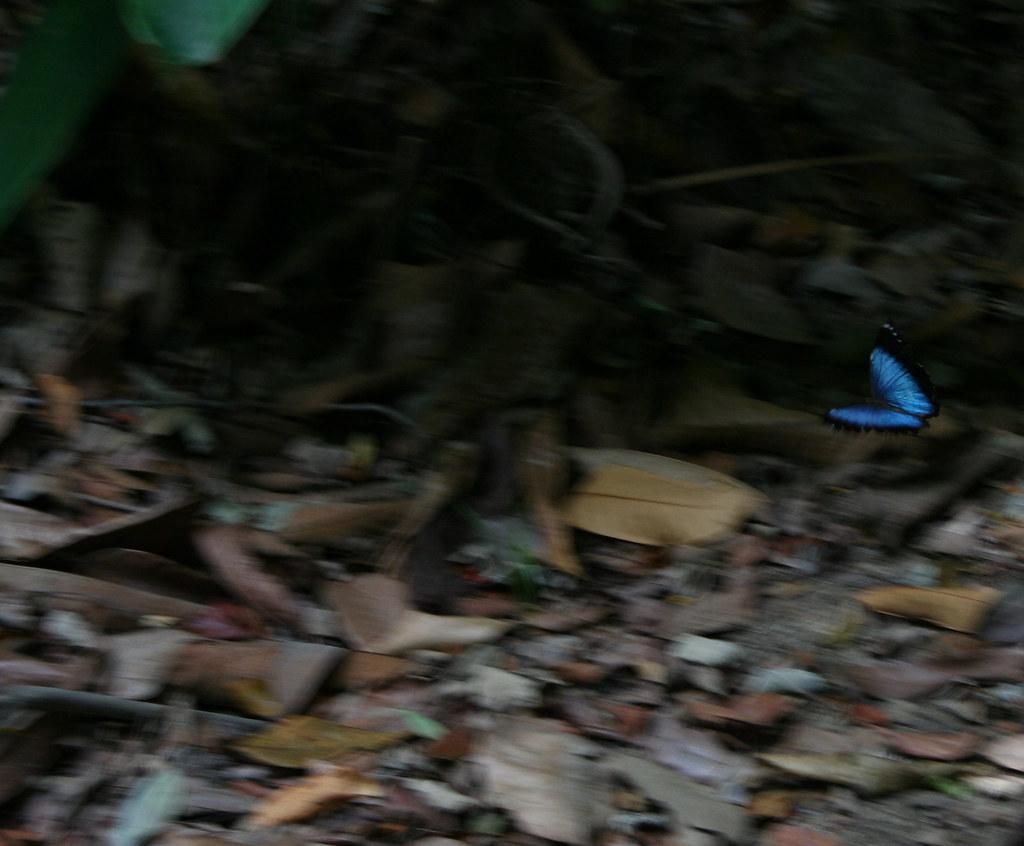 Borboleta Capitão-do-mato ou Morpho achilles achillaena