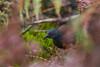galápagos rail by jj birder