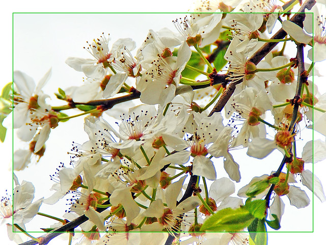 Colors of Spring - White