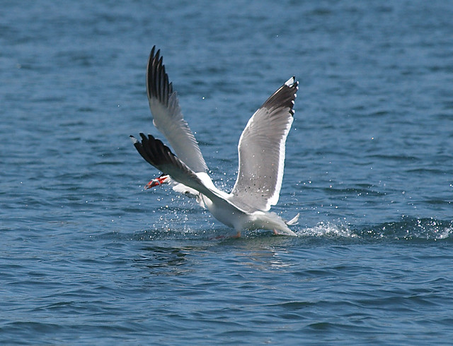 Caspian Tern Escapes From Gull In The Nick Of Time