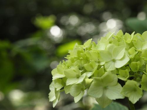 green ajisai(hydrangea) | by doronko