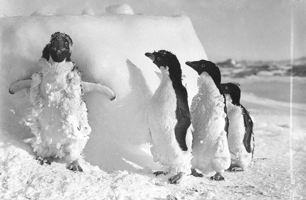 Ice cased Adelie penguins after a blizzard at Cape Denison, c. 1912, photograph by Frank Hurley
