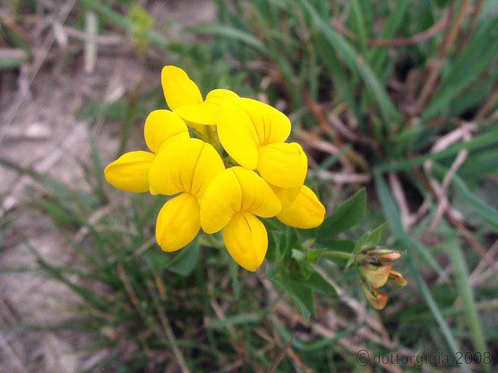 Fiori Di Campo Gialli.Fiore Di Campo Giallo 1 Dottorgioia Flickr