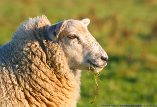 Say Ewe, Say Me....... | by law_keven