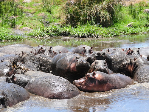 Hippo Mudbath, Ngorongoro | by VSmithUK