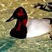 Flickr photo 'Duck, Canvasback -3- (Aythya valisineria)' by: Robertsphotos1.