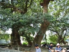伯公山老樹群