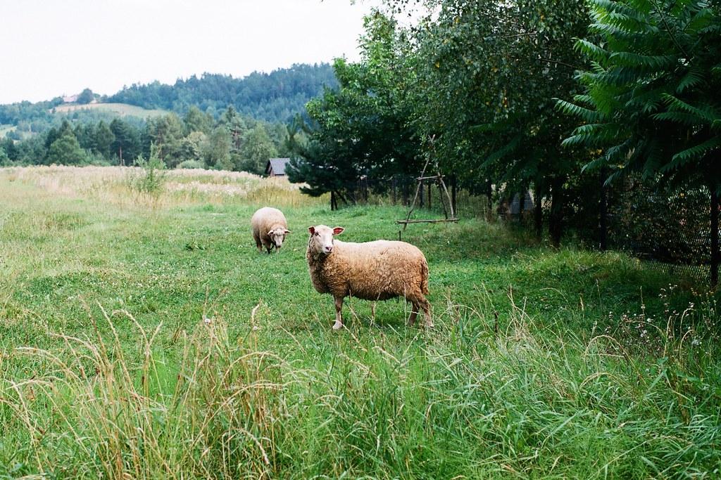 Owca stała zadumana