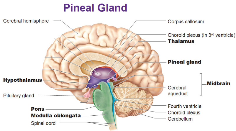 pineal-gland-brain