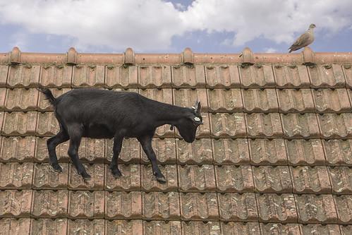 Goat on a roof | by prague.czech.photo