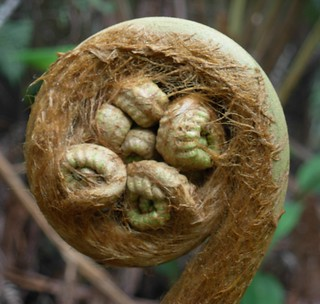 Tree Fern Crozier Unfurling -  Devastation Trail, Kilauea Iki | by brewbooks