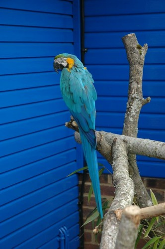 Photo of blue parrot