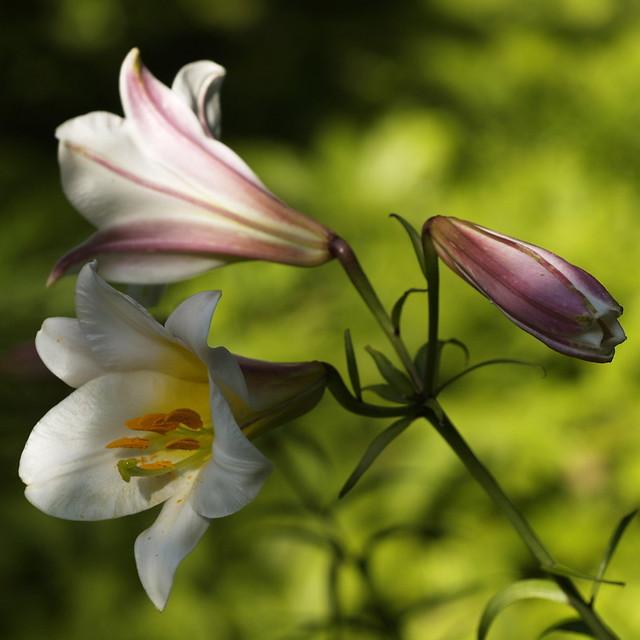 Lelies - lilies