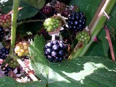 Blackberries | by rcousine