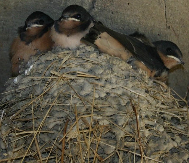 Barn Swallow Fledglings Our Barn Hosts These Fine Little B