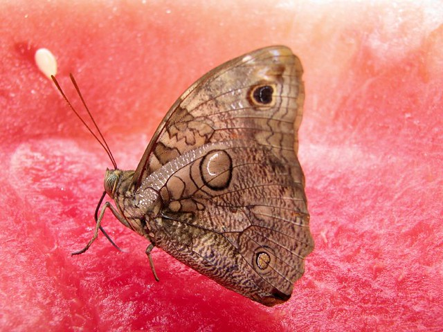 another owl butterfly on a watermelon