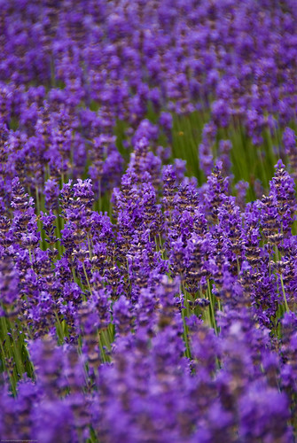 Happy Lavendel Bokeh Friday! | by eriwst