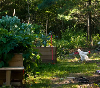 Humble Garden: chickens in the garden | by nikaboyce