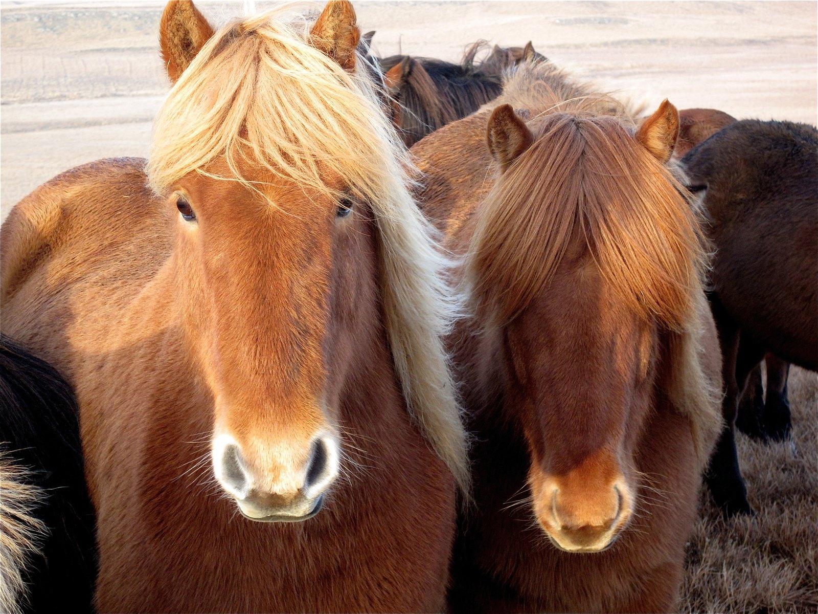Icelandic Horse - Horse Scanner