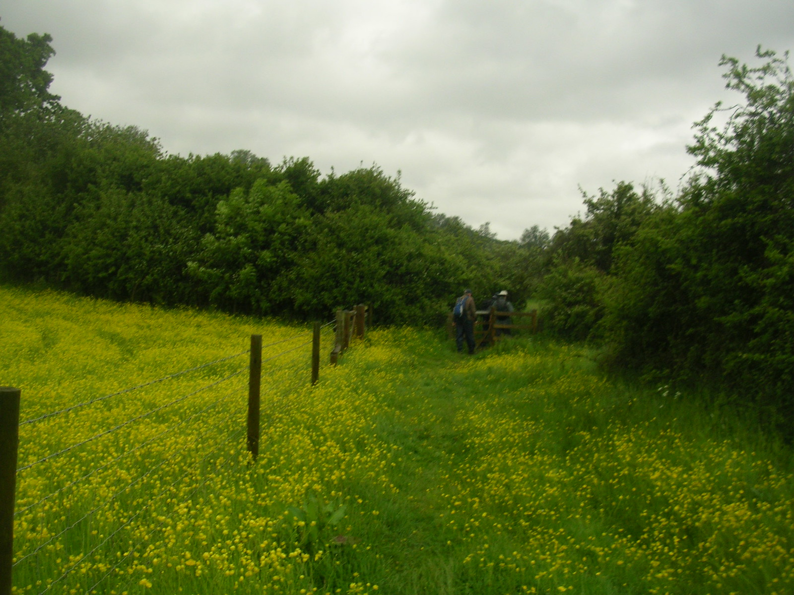 Us walking through the buttercups Wakes Colne to Bures Spectacular show of....