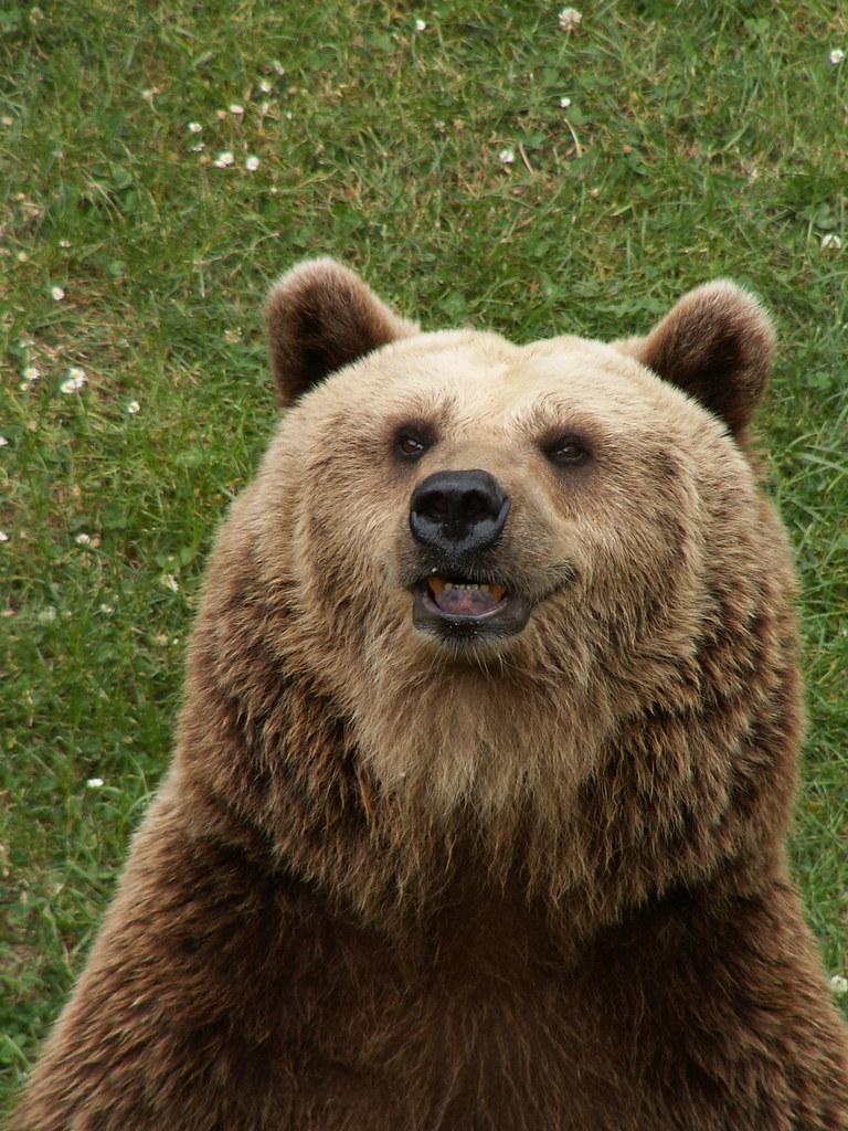 Der Bär voll wilder Traurigkeit, sucht den dicksten Wald, sein Eigensinn versteckt, vertreibt den Tag, unausgeforscht, durch Klippen und Berg verdeckt die Zeit, der Petz liebt diese Kluft im Berg, er meidet stets die Spur der Bären mit dem Namen Bär Ursidae 372
