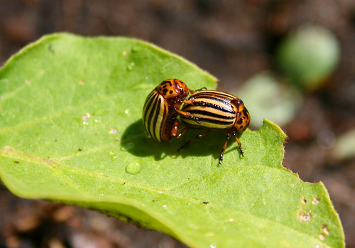potato beetle | by daBinsi