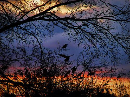 sunset tree minnesota rochester crows blackbirds ravens soldiersfieldpark