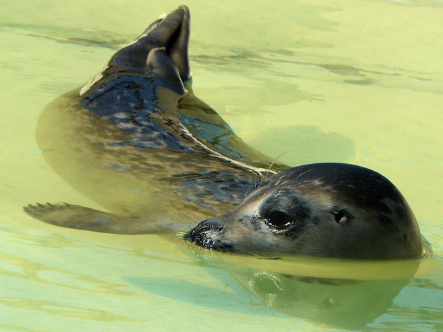 Young seal recovers at Ecomare