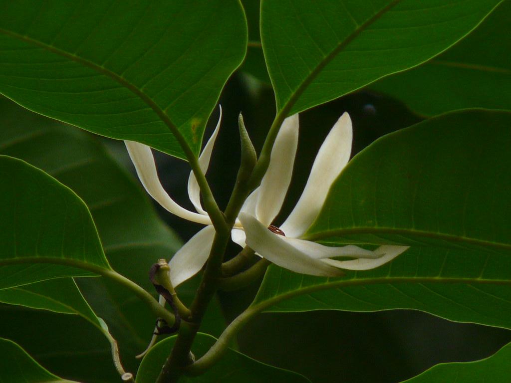 Chafa Marathi चफ Magnoliaceae Magnolia Family Mic