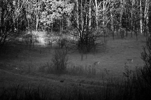 park morning blackandwhite bw white black nature fog cat sunrise outdoors spring woods nikon funny tail deer curious hollow quail d40 nikond40