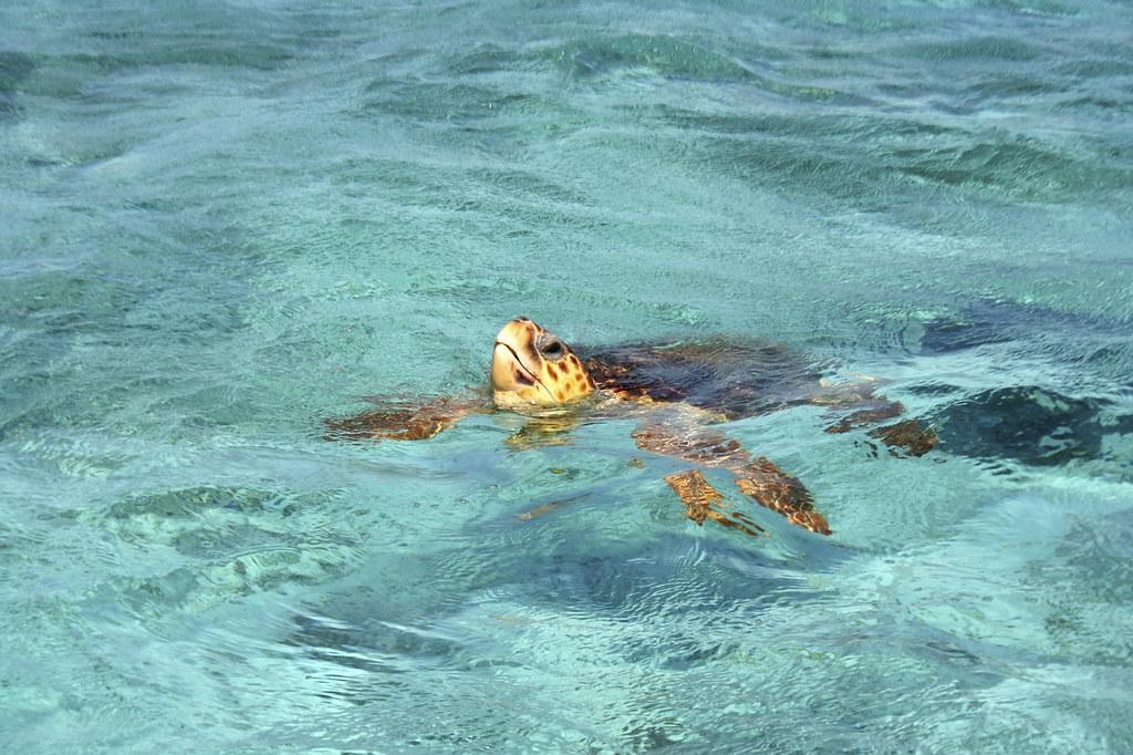 Havskildpadde I Det Klare Have Ved Kysten I Belize Flickr