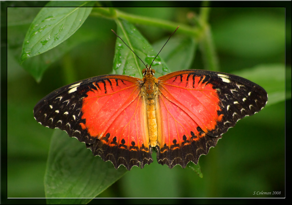 Red Lacewing, Cethosia biblis by feenixfotography