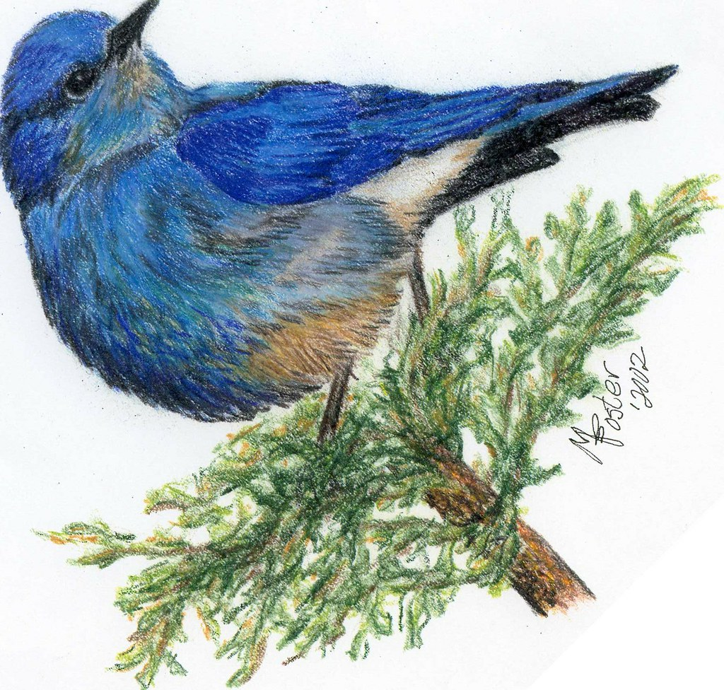 Colored Pencil Drawing Of A Blue Bird My Scanner Insisted