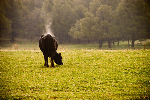trees grass cow colorado steam pasture dcumminsusa dcummins 20080524canoneos20dimg0813edited1