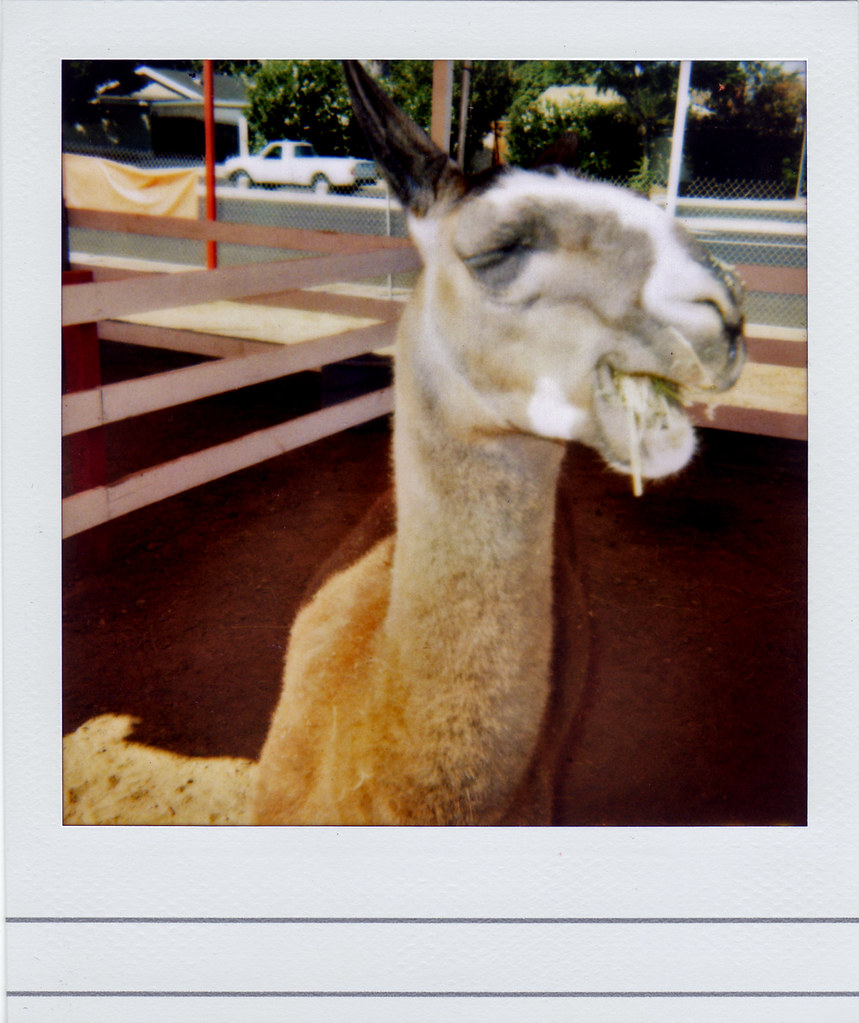 Drunk Llama This Was The Drunkest Llama Ive Ever Seen Mighty Dr